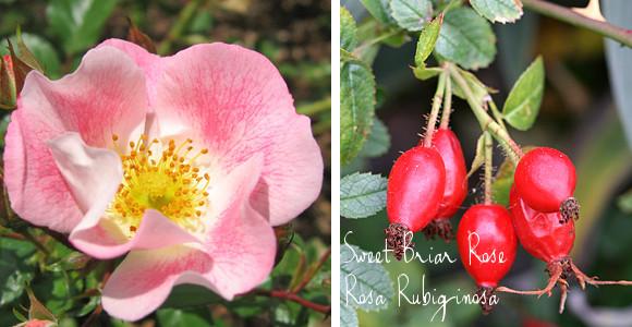 sweet briar rose rosa elegantine or rosa rubiginosa via www.pithandvigor.com