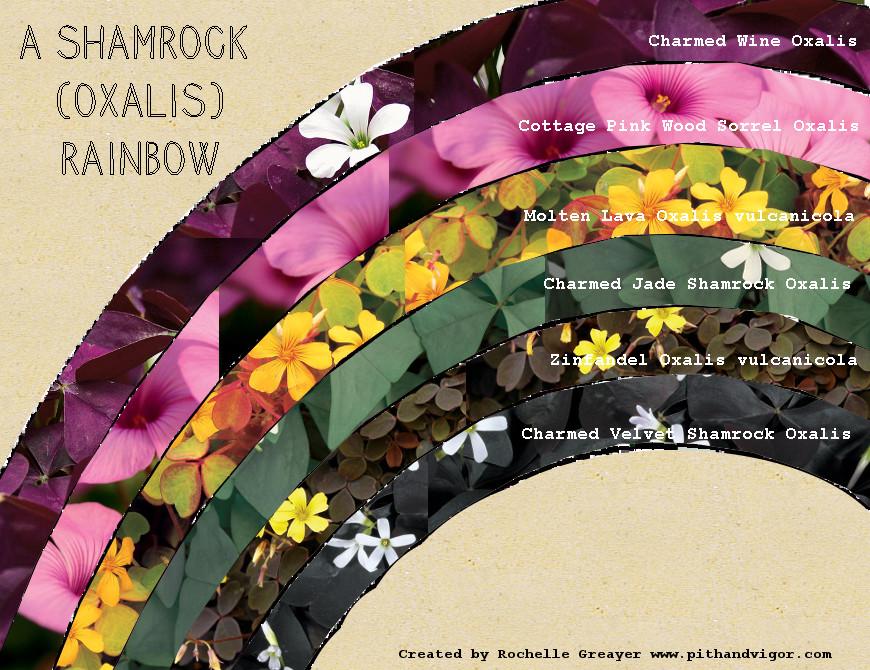 A Shamrock (Oxalis) Rainbow