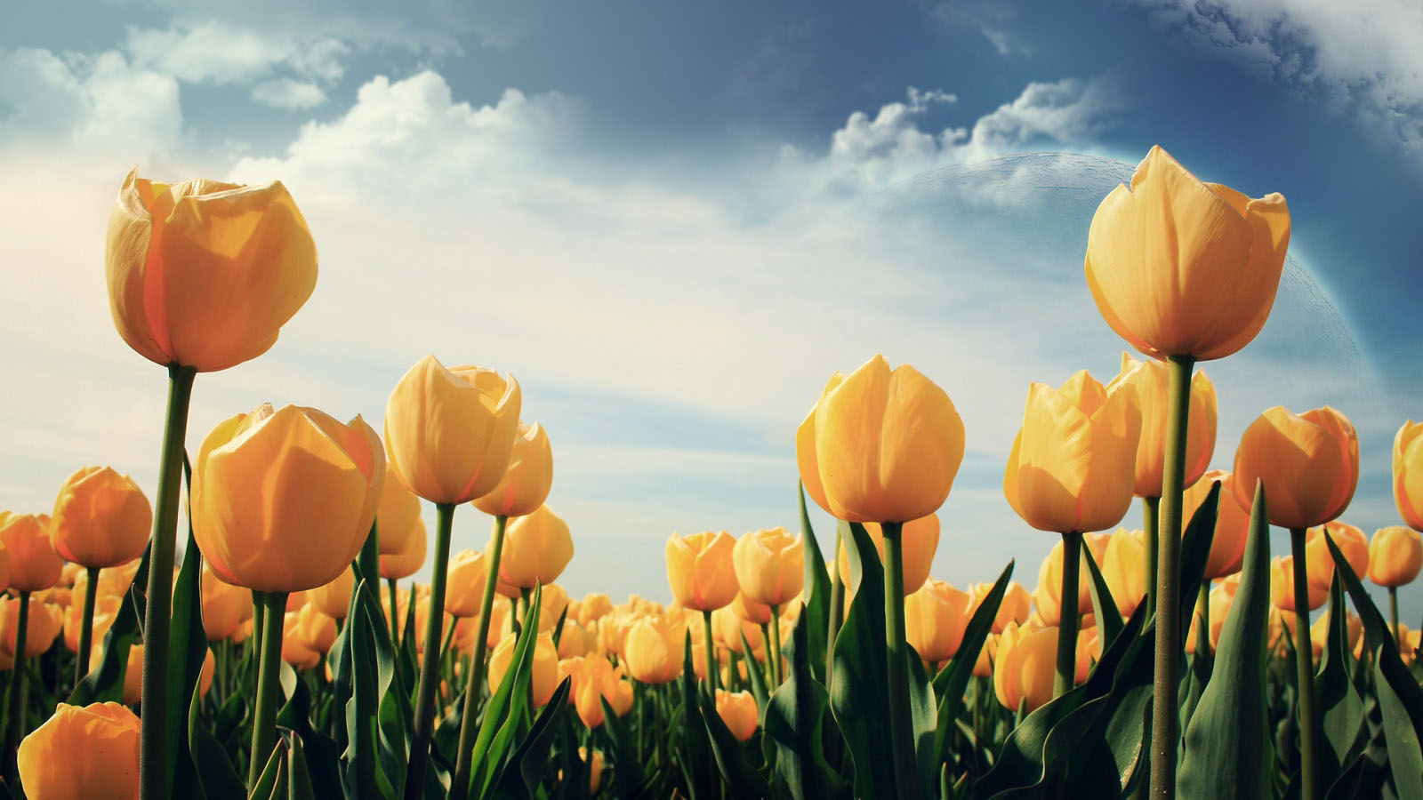 New Year 2014 Hd Wallpapers Tulips Flower Wallpapers Pixelstalk Net