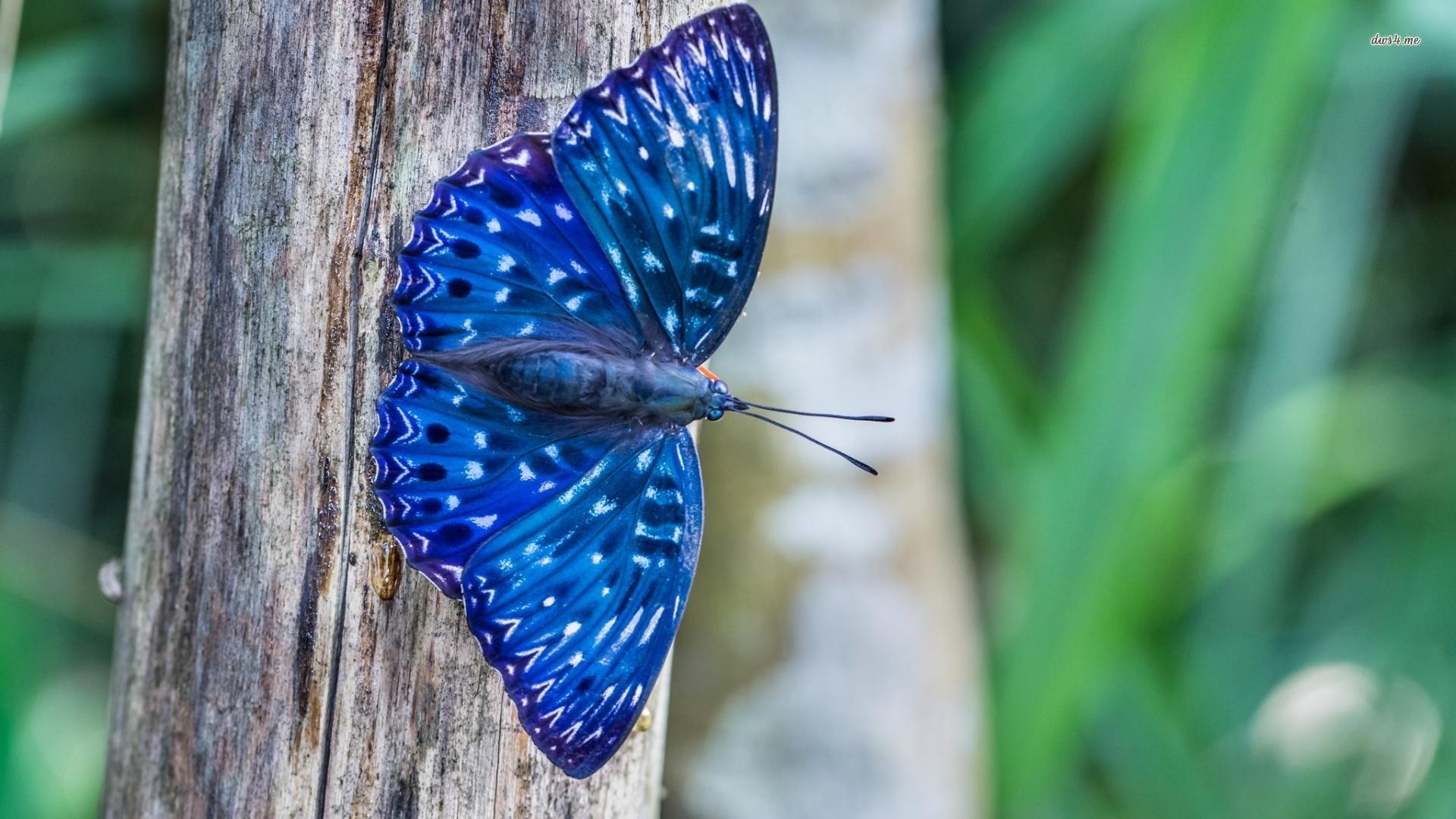 Hq 3d Wallpapers Free Download Blue Butterfly Wallpaper Hd Pixelstalk Net