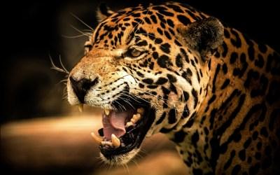 Cheetah Wallpapers HD | PixelsTalk.Net