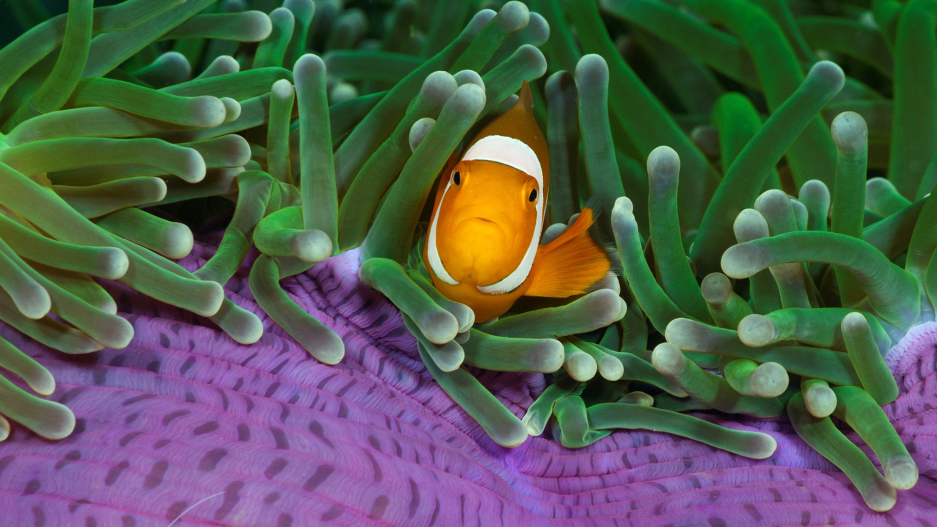 Hd Lavender Wallpaper Clown Fish Wallpapers Pixelstalk Net