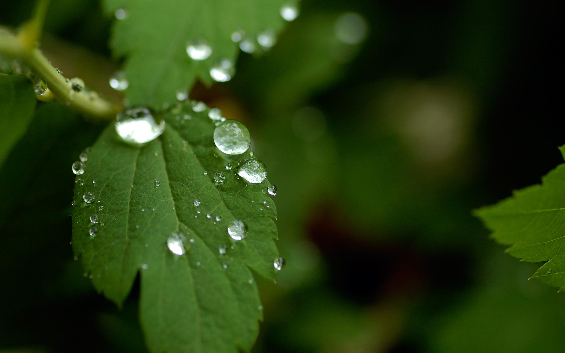 Drop Of Water Falling From A Leaf Wallpaper Rain On Leaves Wallpaper Hd Pixelstalk Net