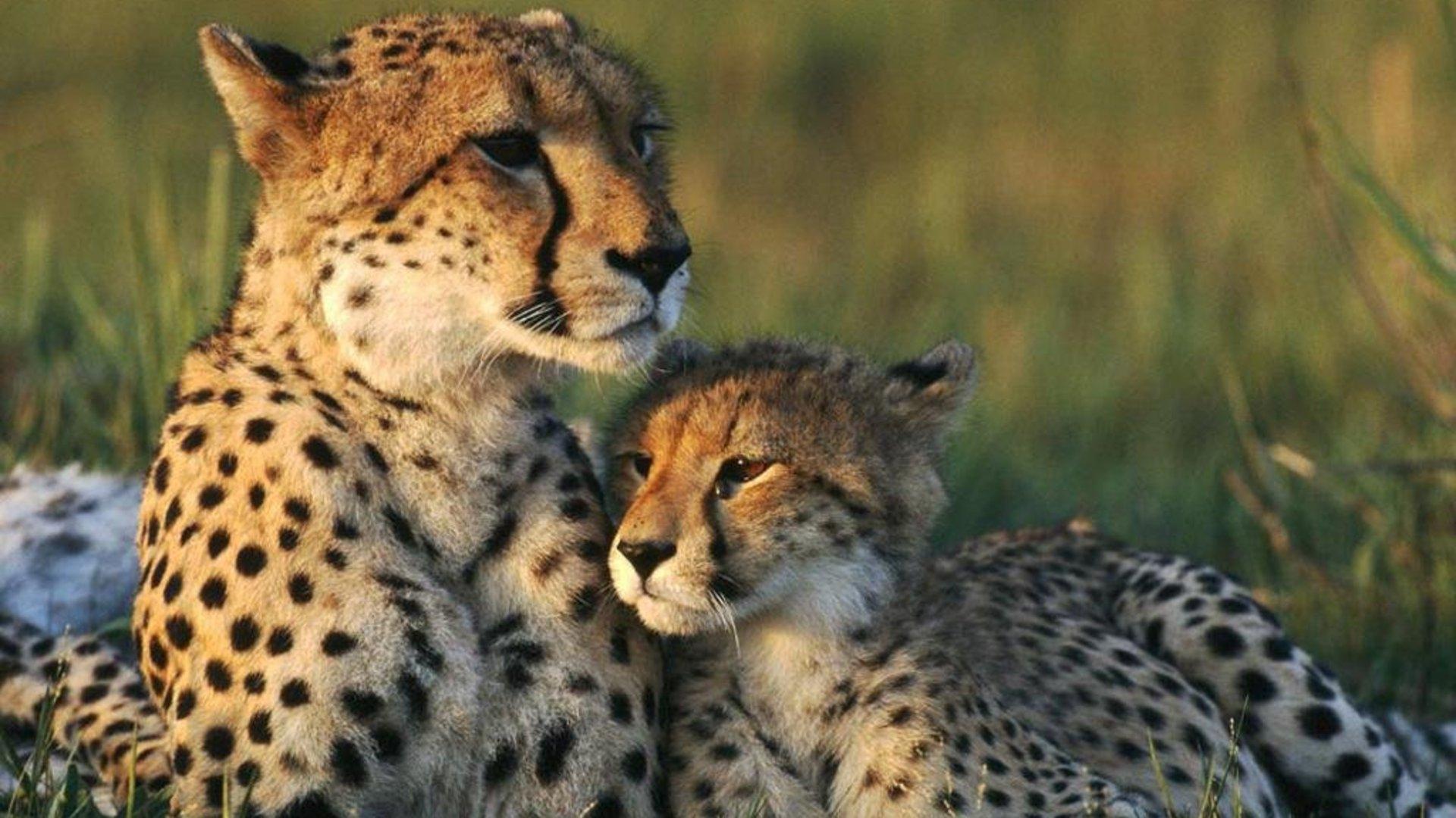 Cute Babies Free Download Wallpapers Cheetah Wallpapers Hd Pixelstalk Net
