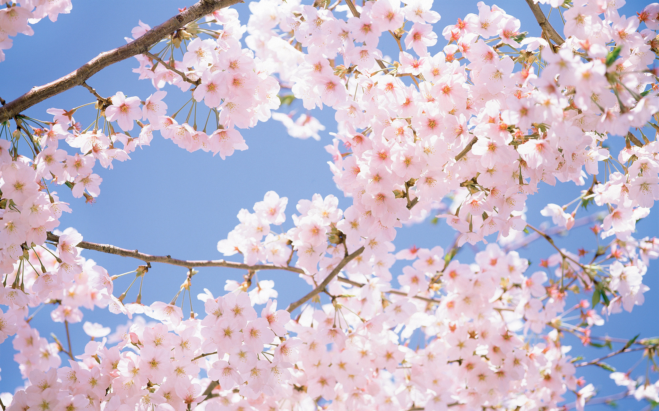 3d Nature Wallpaper For Desktop Full Size Flowers Cherry Blossom Wallpapers Pixelstalk Net