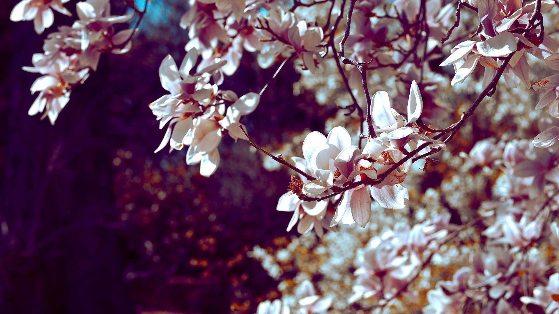 1000 Wallpapers Cute Cherry Blossom Backgrounds Pixelstalk Net
