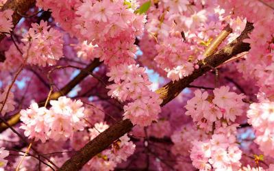 Cherry Blossom Wallpaper HD | PixelsTalk.Net