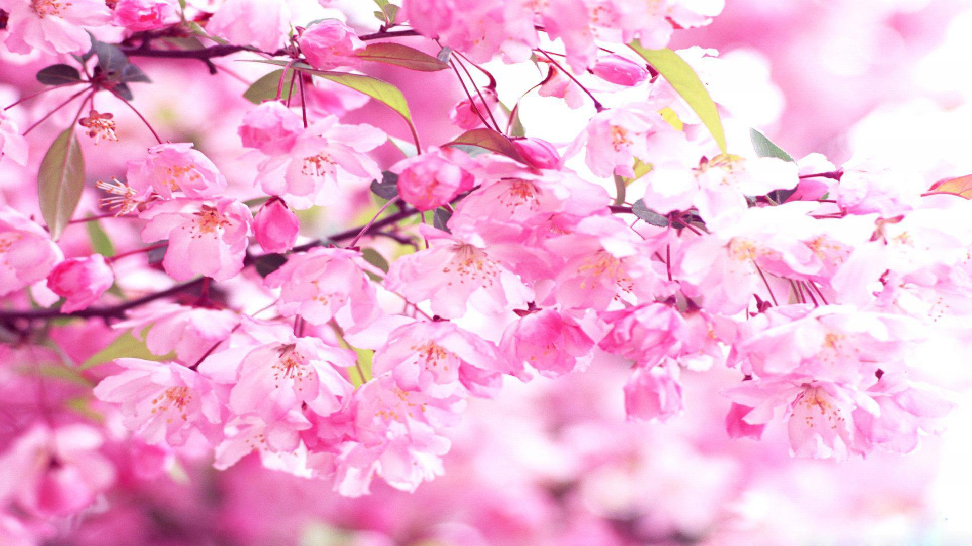 Stunning Fall Wallpapers Cherry Blossom Wallpaper Hd Pixelstalk Net