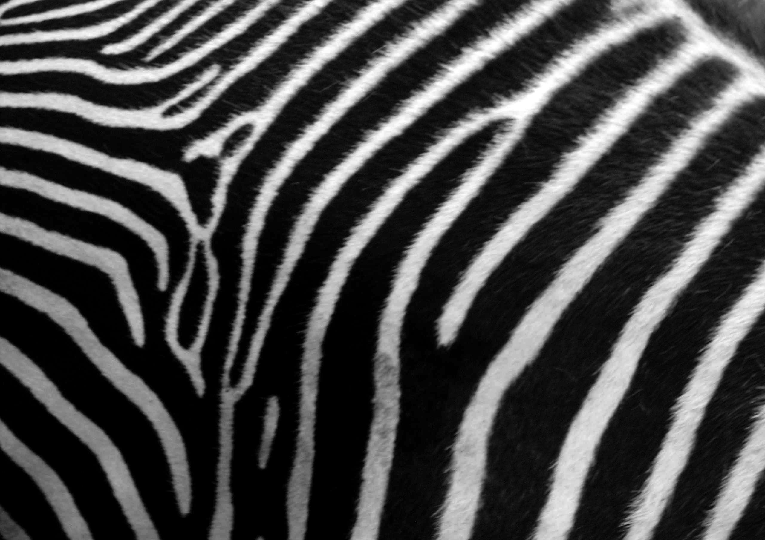 Neon Animal Print Wallpaper Zebra Print Wallpaper Hd Pixelstalk Net