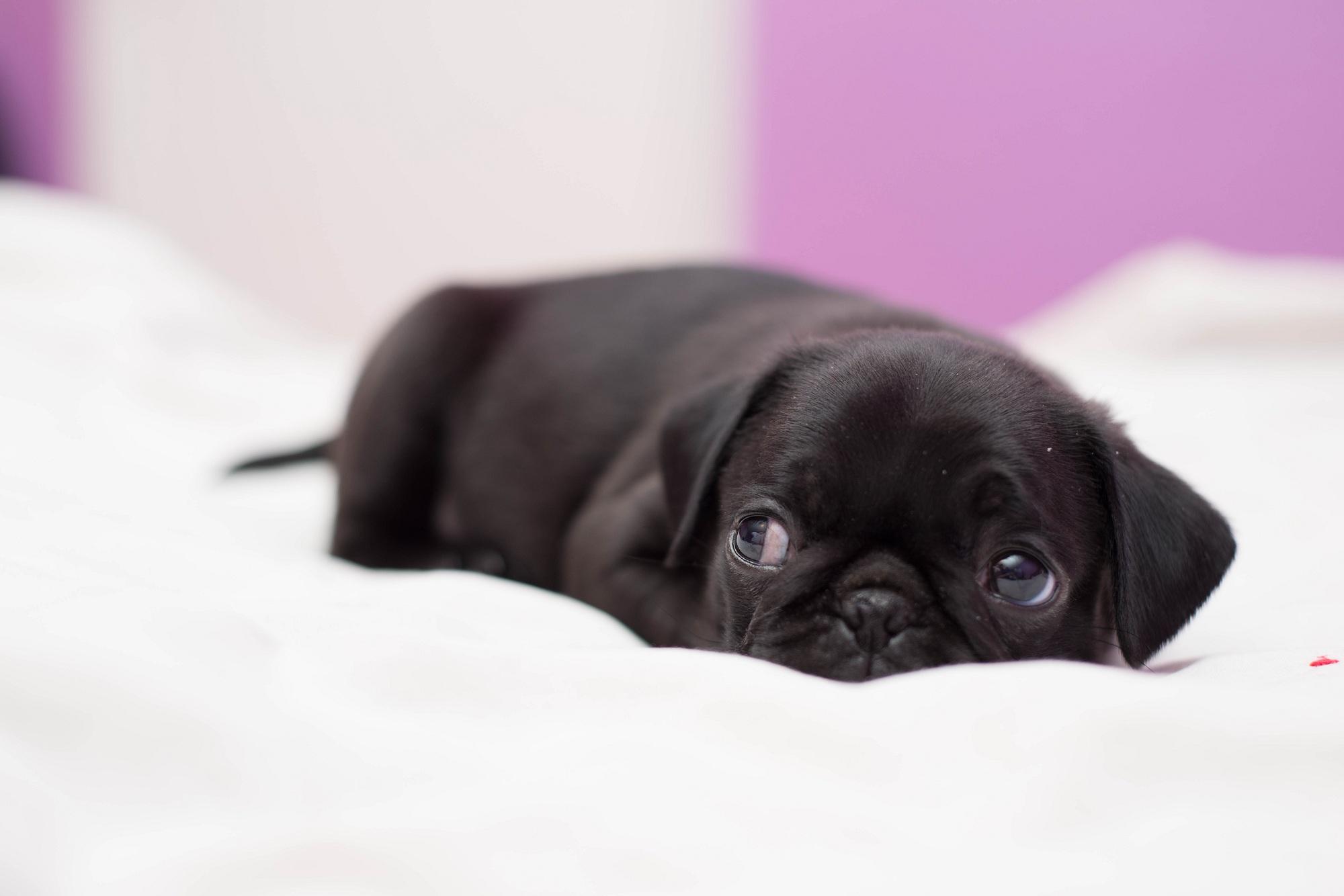 Cute Pug Puppies Wallpapers Free Desktop Pug Wallpapers Pixelstalk Net