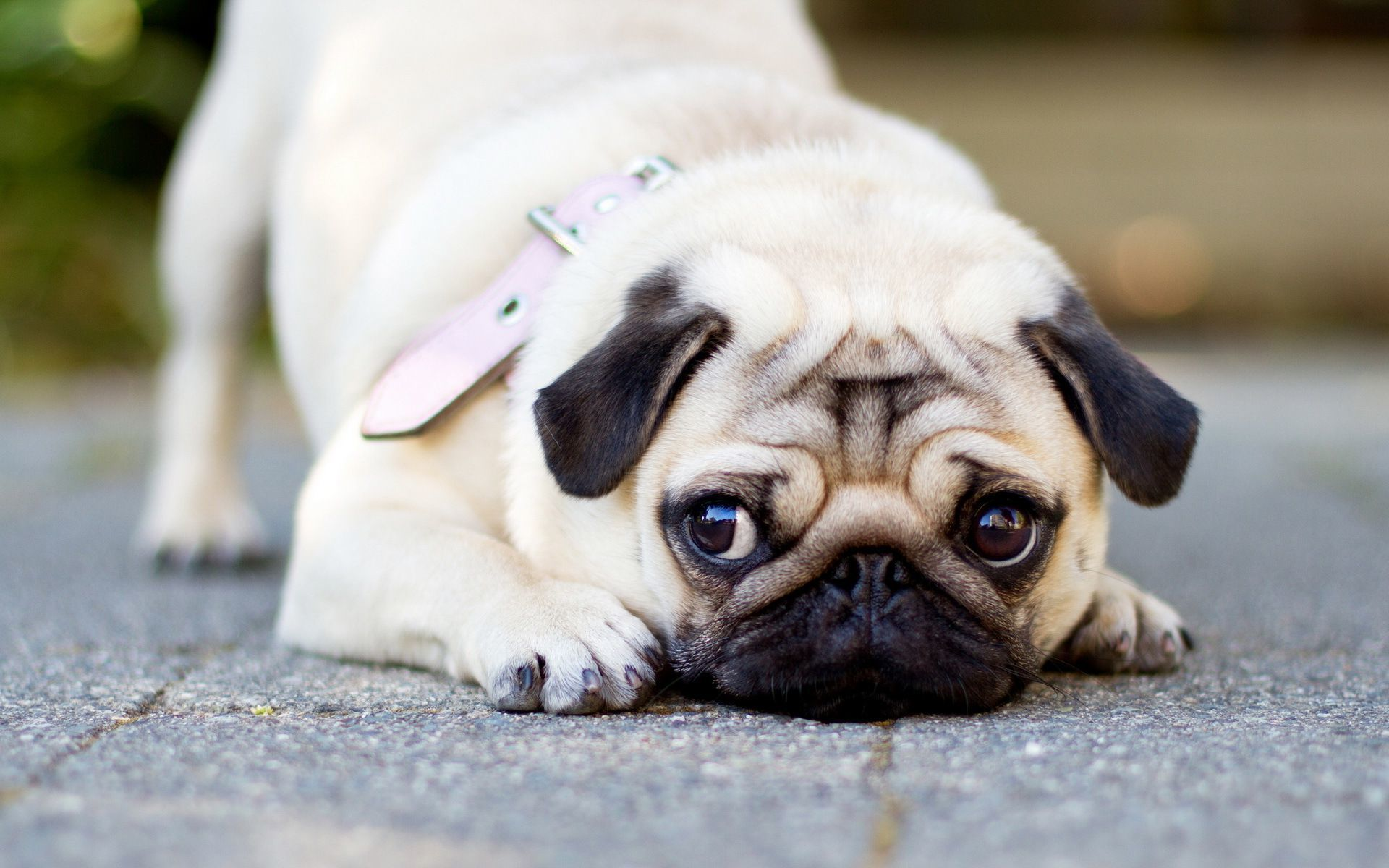 Cute Dogs And Puppies Wallpaper For Mobile Free Hd Pug Wallpapers Pixelstalk Net