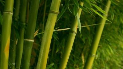 Bamboo Wallpaper HD | PixelsTalk.Net