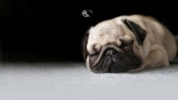 Free Wallpapers Wid Quotes Free Desktop Pug Wallpapers Pixelstalk Net