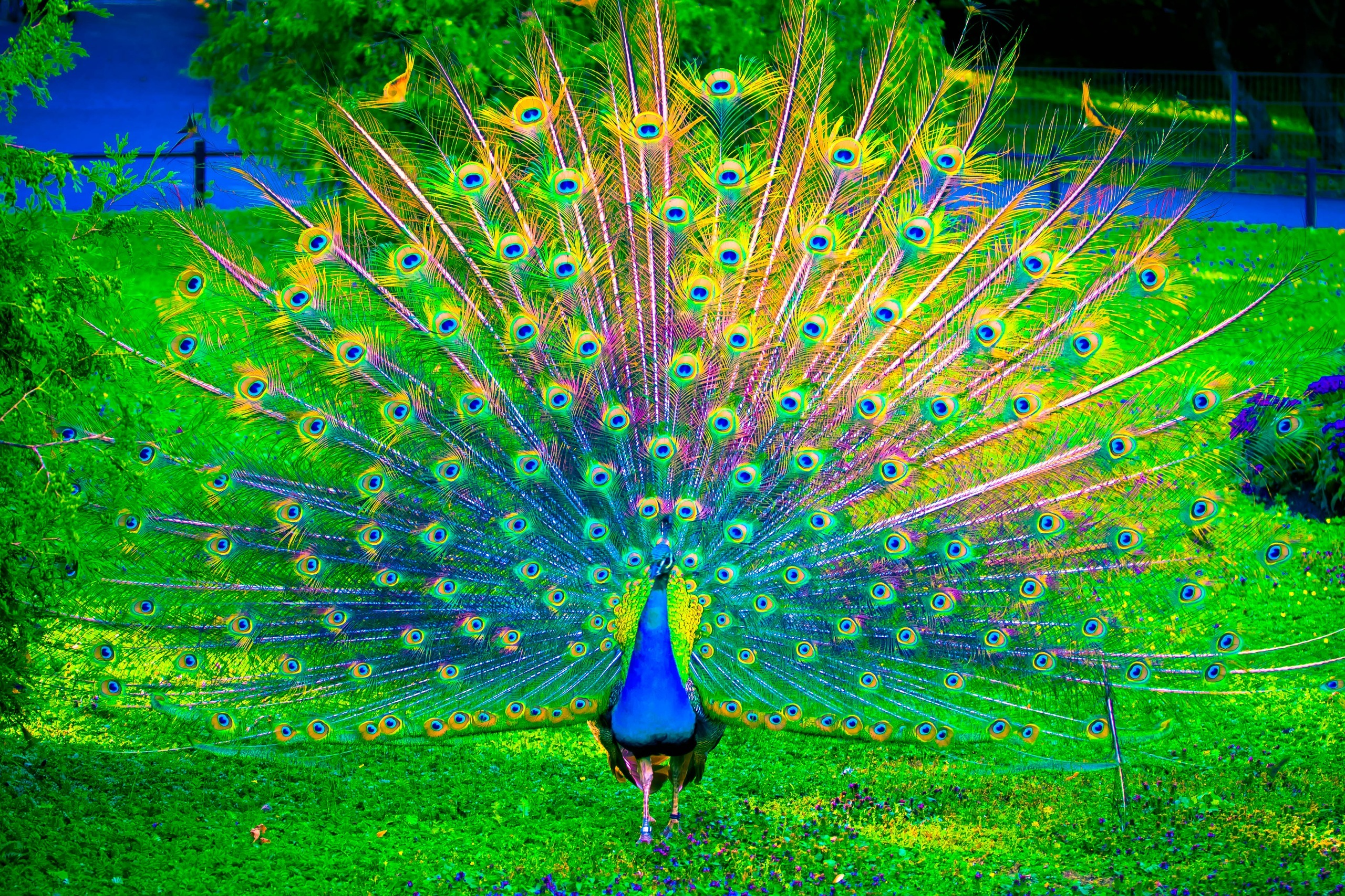 Beautiful Wallpapers For Desktop With Quotes Hd Peacock Wallpaper Pixelstalk Net