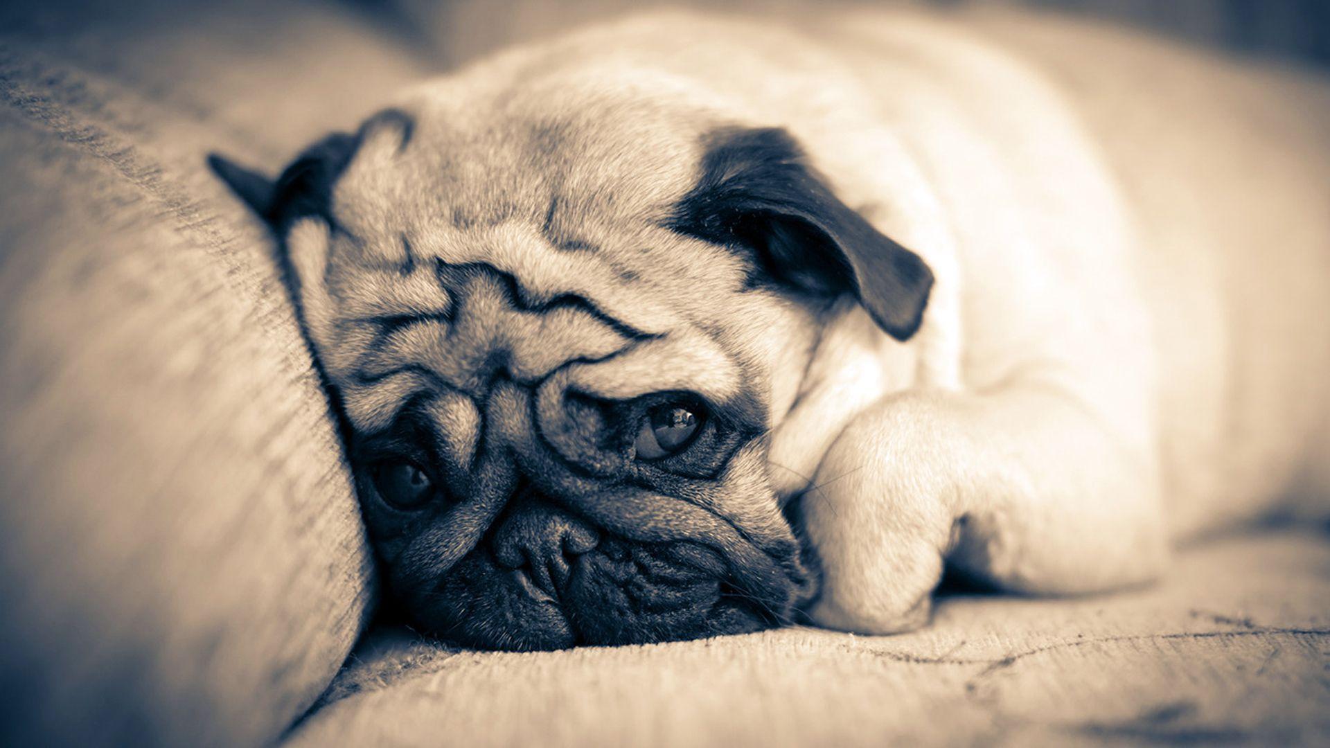 Cute Puppy Iphone Wallpaper Free Desktop Pug Wallpapers Pixelstalk Net