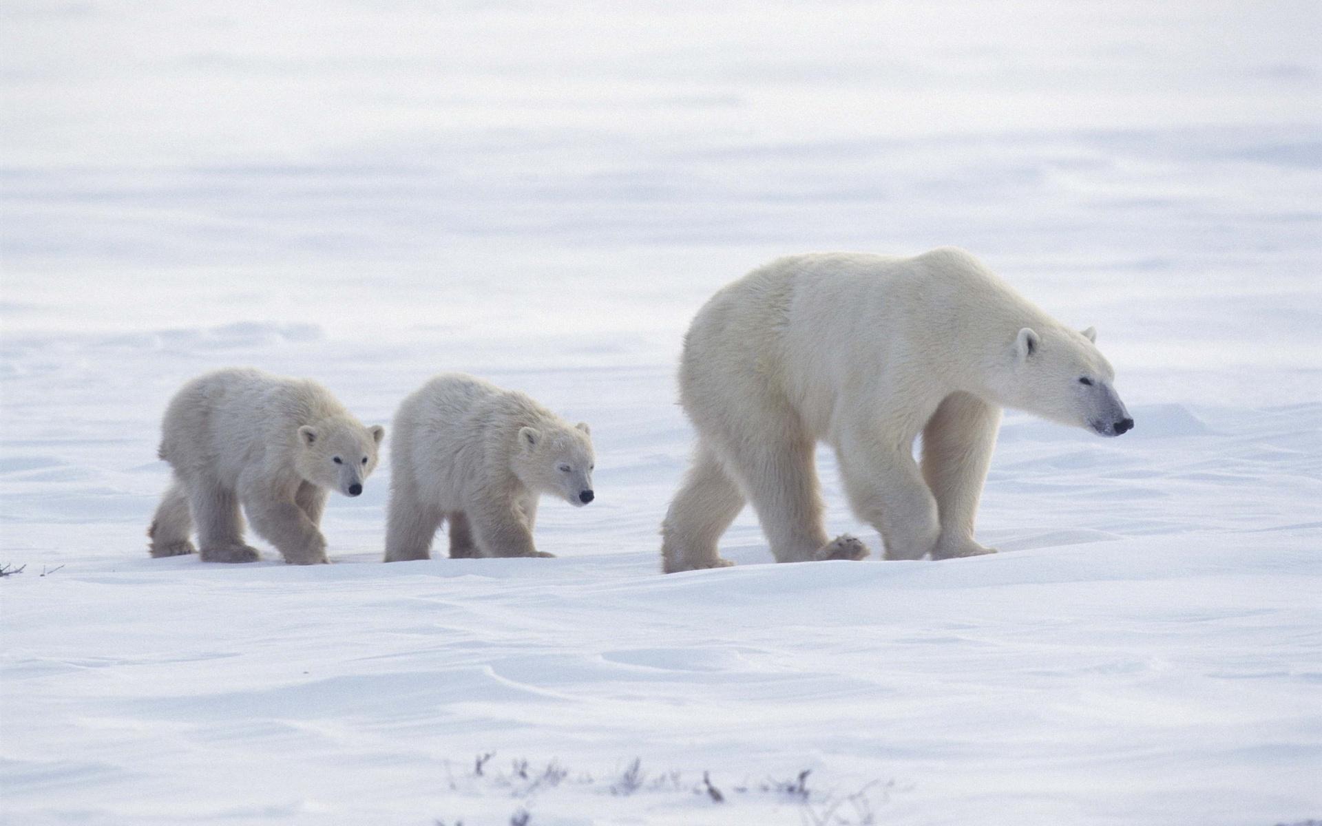 Cute Cubs Wallpaper Bear Wallpapers Hd Pixelstalk Net