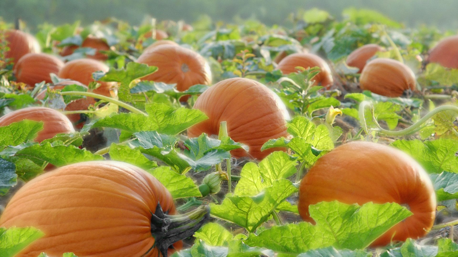 Fall Farm Desktop Wallpaper Pumpkin Wallpapers Hd Pixelstalk Net