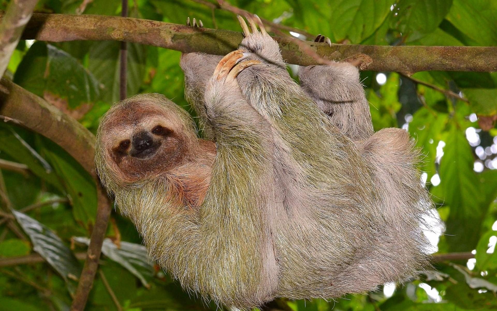 Sloth Wallpaper Cute Download Sloth Hd Backgrounds Free Pixelstalk Net
