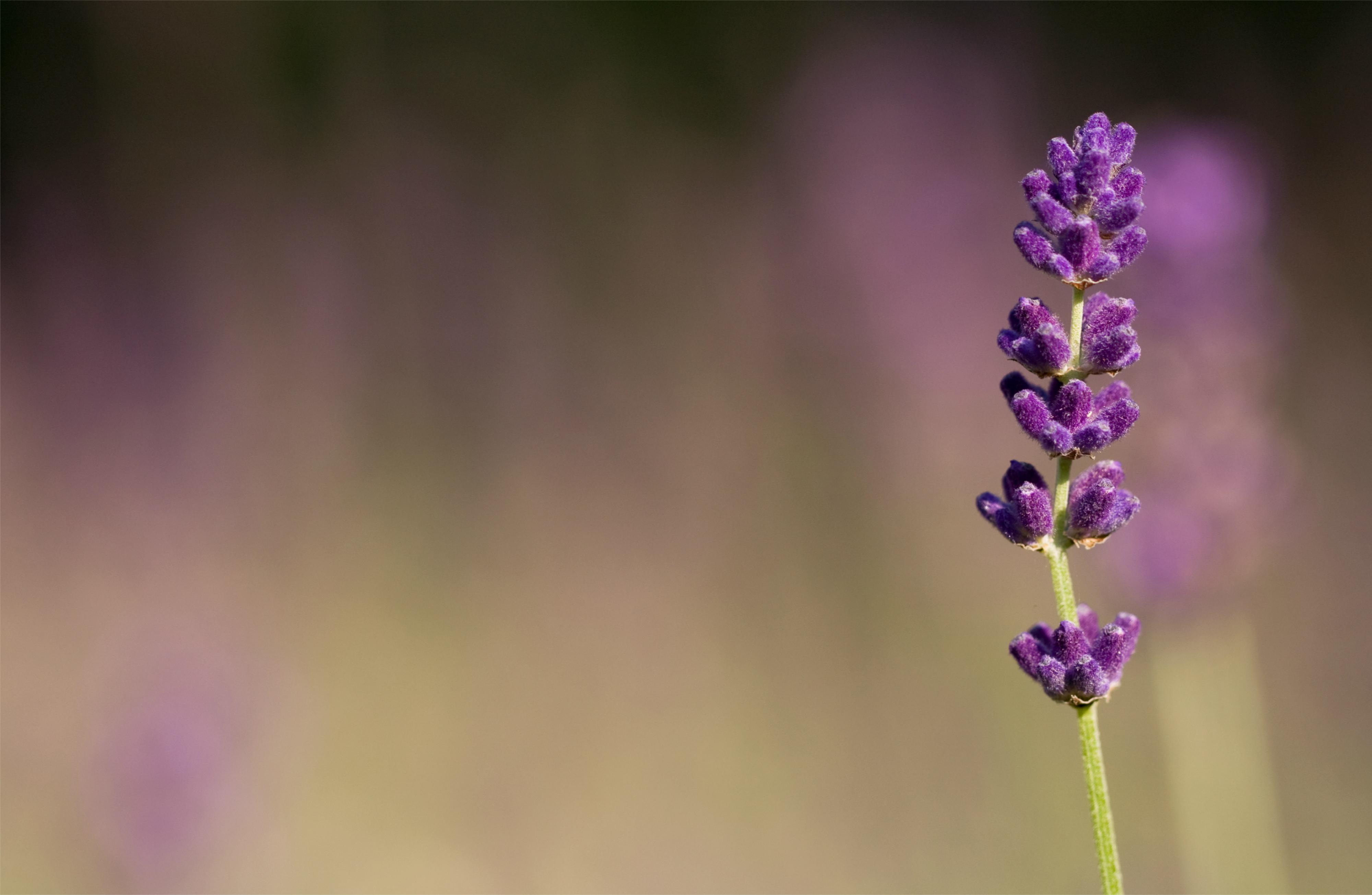 Inspirational Wallpapers With Quotes High Resolution Lavender Flower Wallpapers Hd Pixelstalk Net
