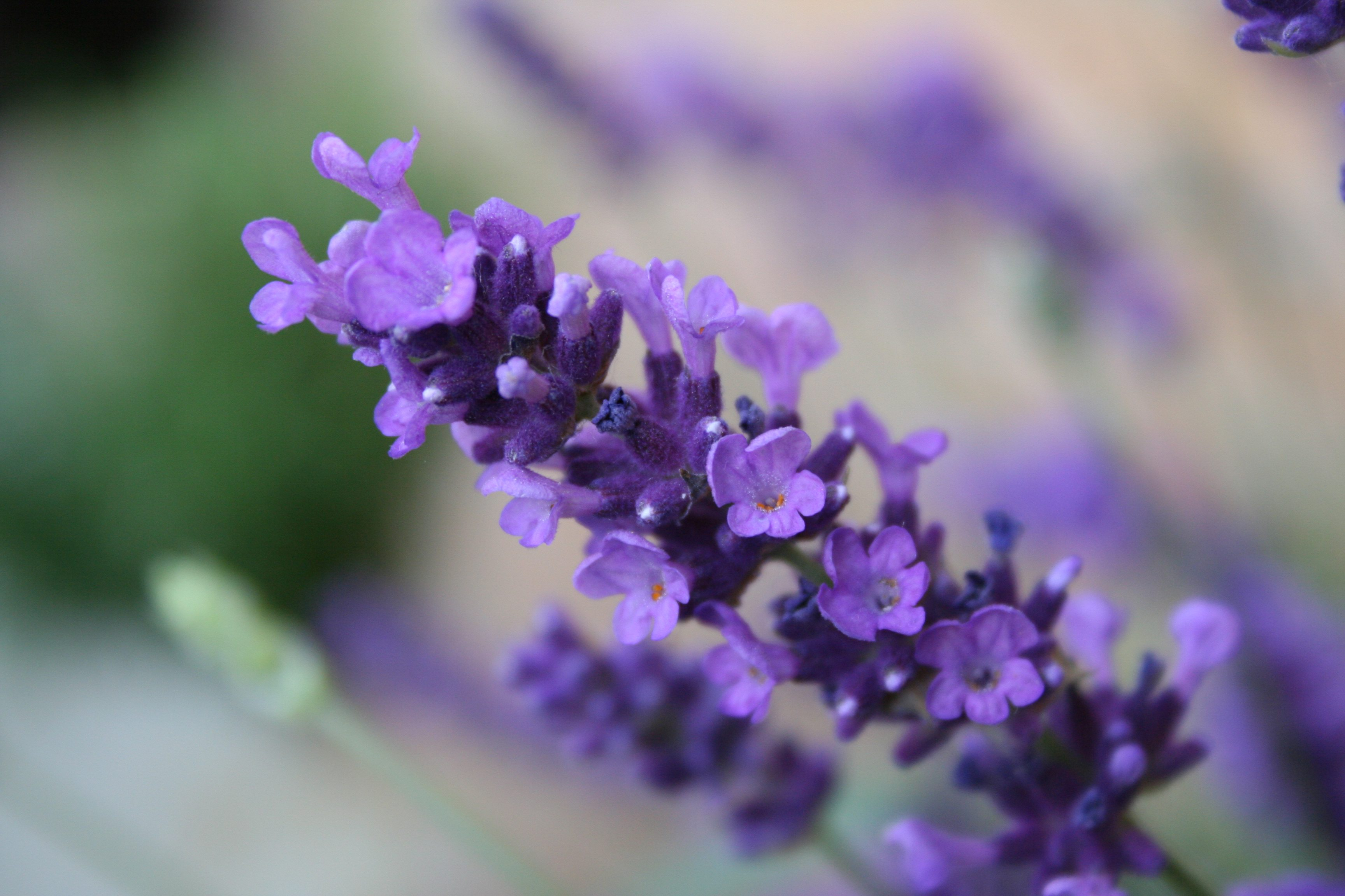 Free Fall Season Wallpapers Download Free Lavender Flower Backgrounds Pixelstalk Net