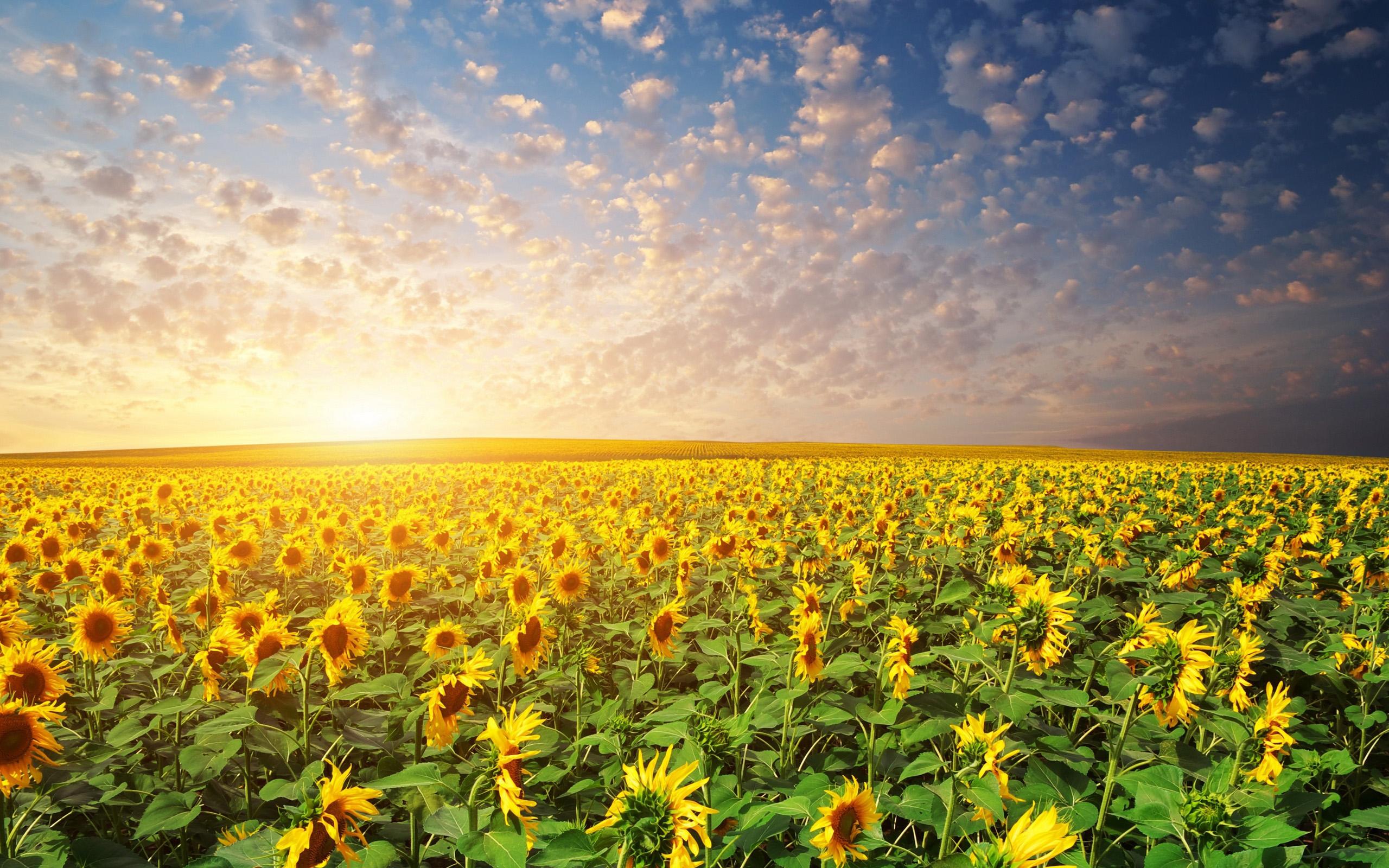 Fall Sunflower Desktop Wallpaper Download Free Sunrise Wallpapers Pixelstalk Net