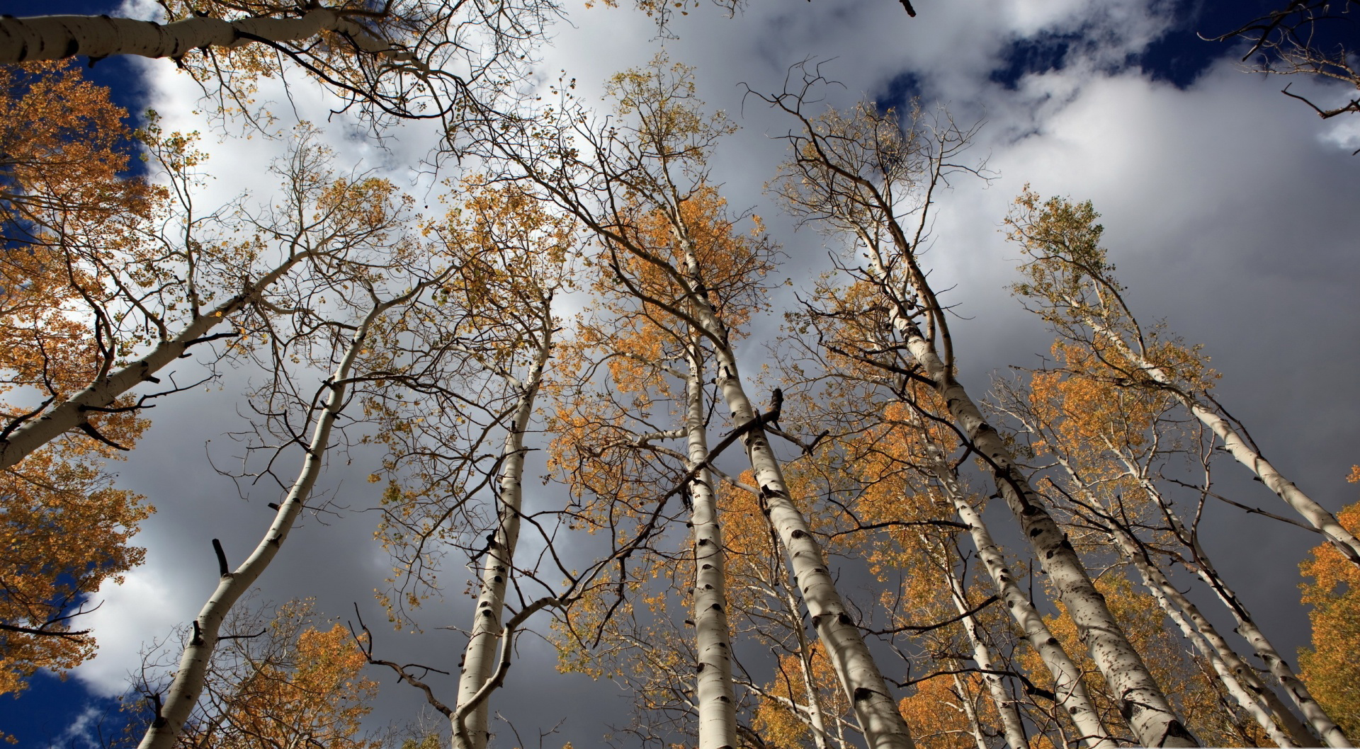 Fall Season Computer Wallpaper Birch Tree Backgrounds Pixelstalk Net