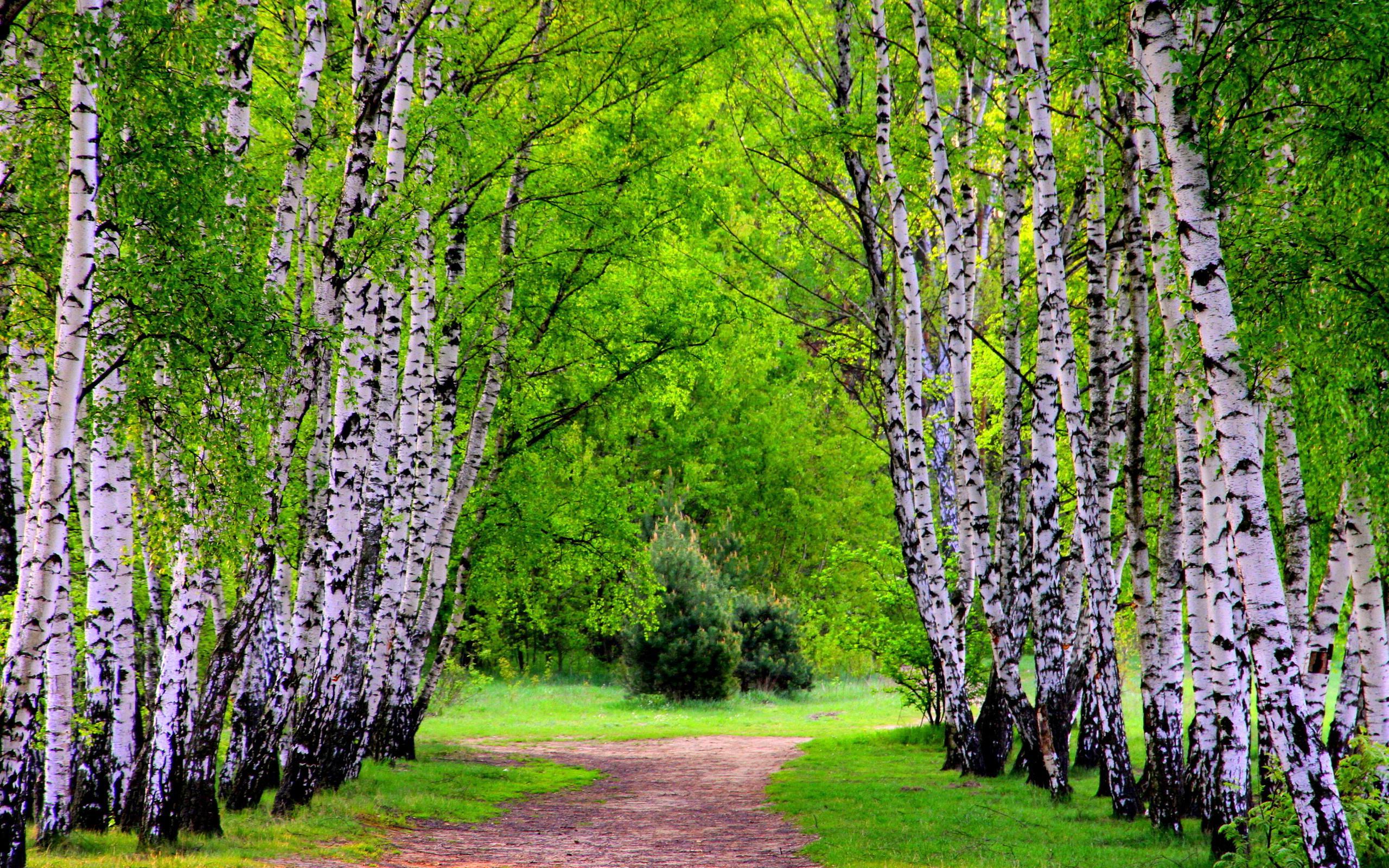 Fall Desktop Wallpaper Full Screen Birch Tree Backgrounds Pixelstalk Net