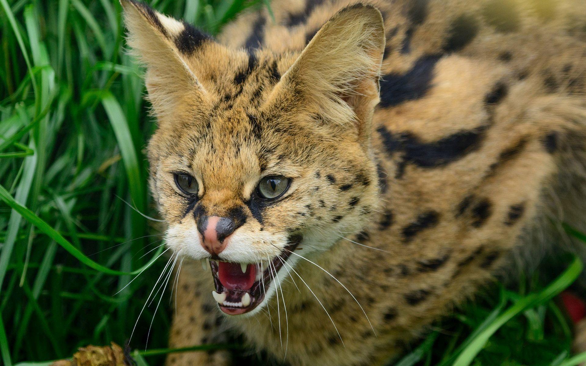 Cute Halloween Cat Wallpaper Wildcat Wallpapers Download Free Pixelstalk Net