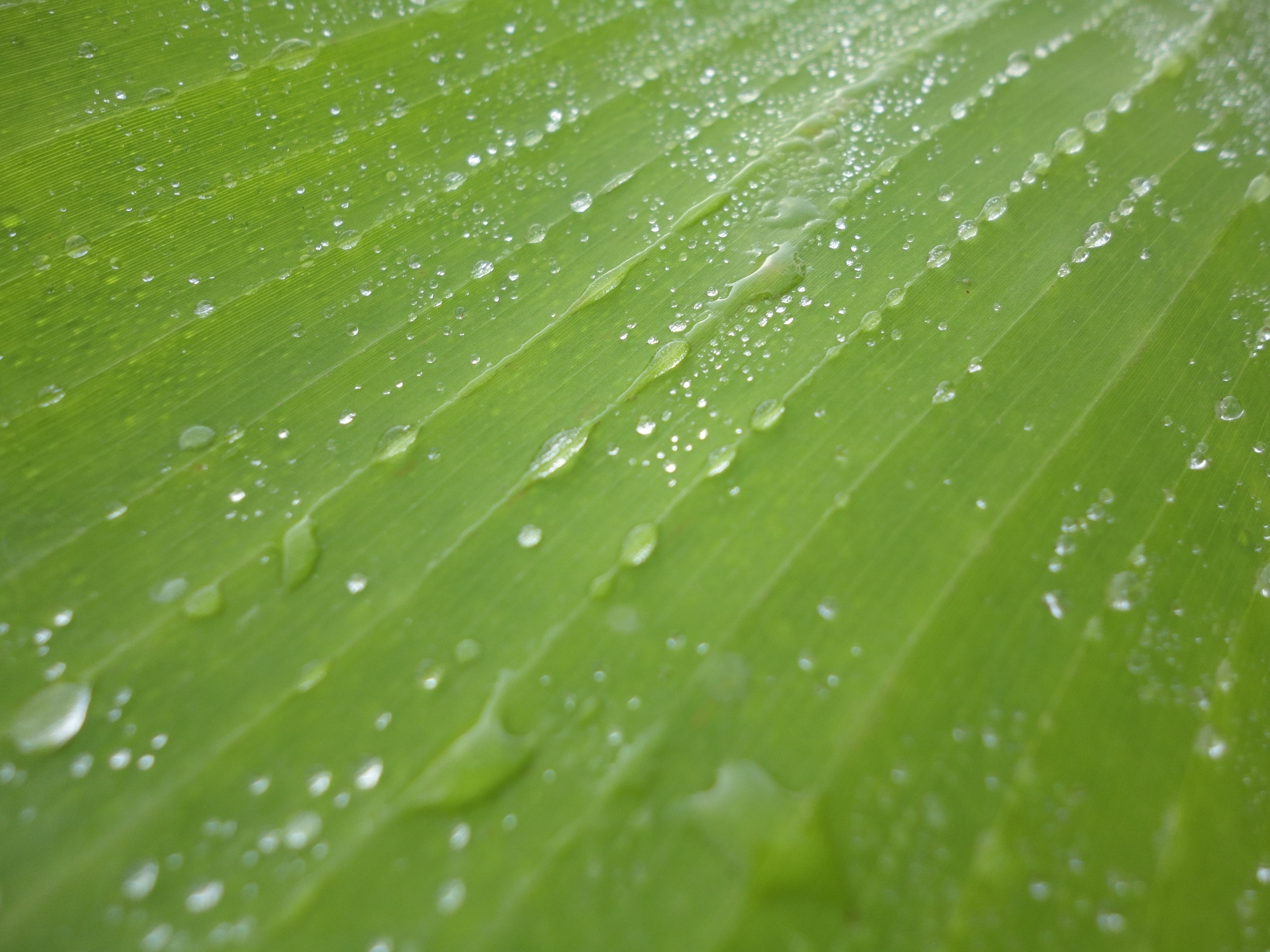 3d Wallpaper Water Drop Banana Leaf Images Free Pixelstalk Net