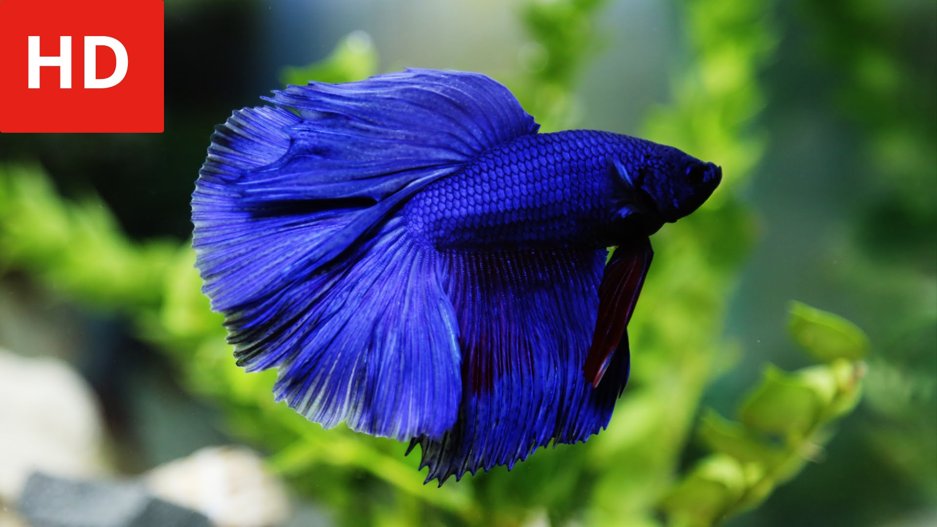 Download Wallpaper Aquarium 3d Betta Fish Backgrounds Pixelstalk Net