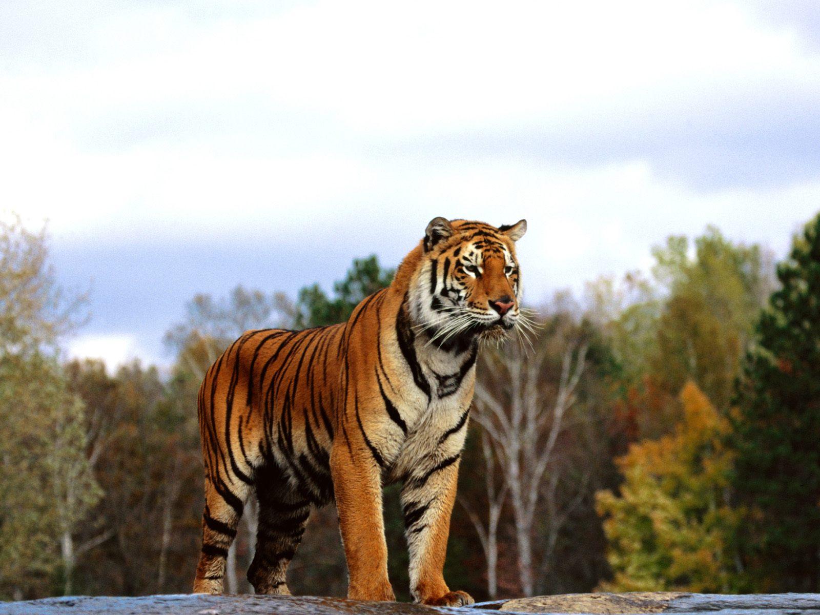 Full Hd Wallpapers 1080p Desktop Free Download Download Free Bengal Tiger Wallpaper Pixelstalk Net