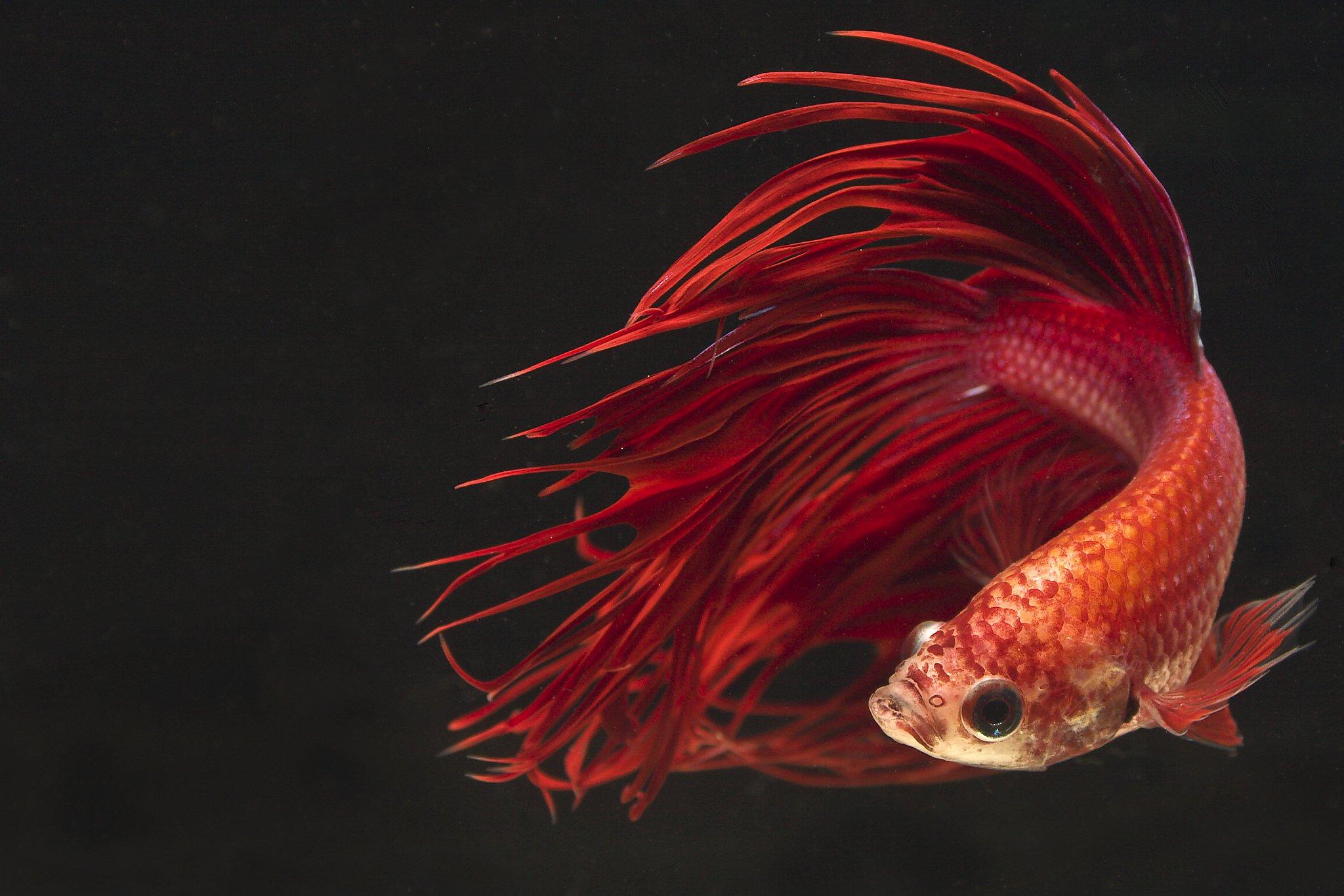 Fall Baby Animal Wallpaper Betta Fish Backgrounds Pixelstalk Net