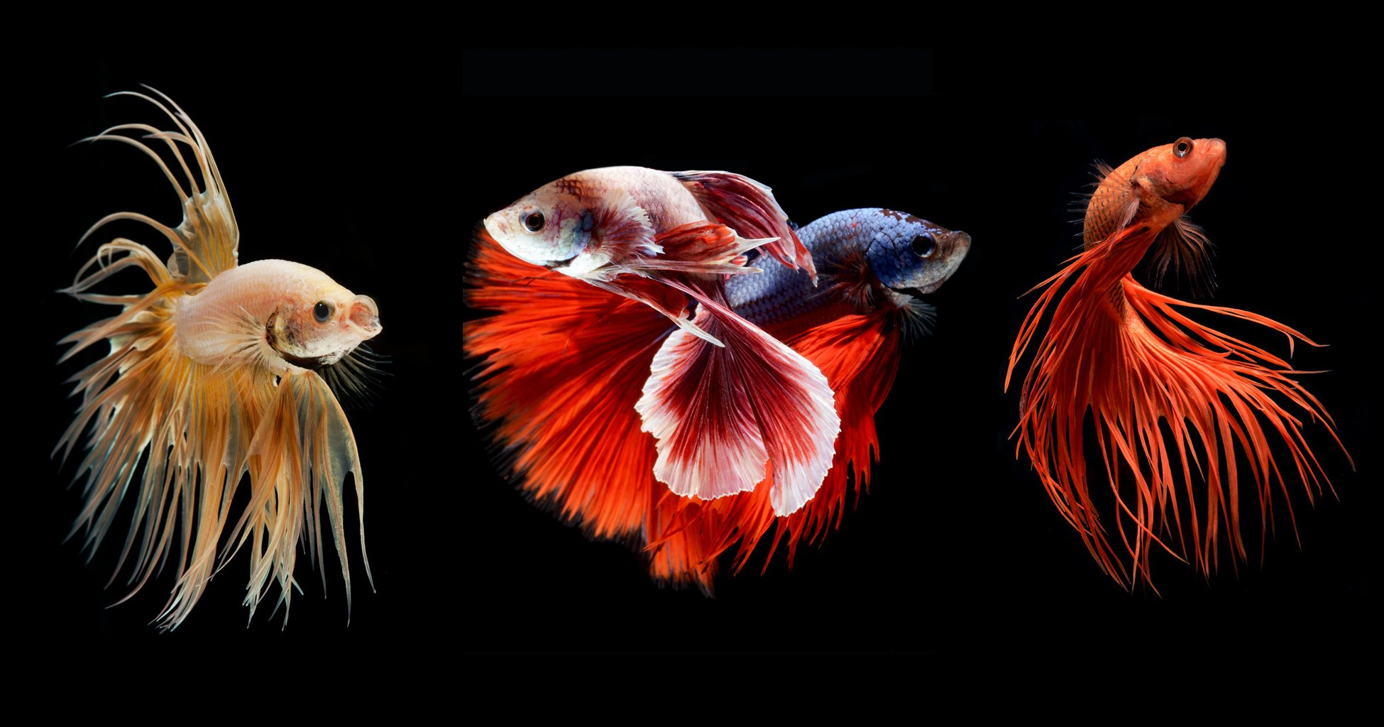 Free Fall Wallpaper With Animals Betta Fish Wallpapers Hd Pixelstalk Net