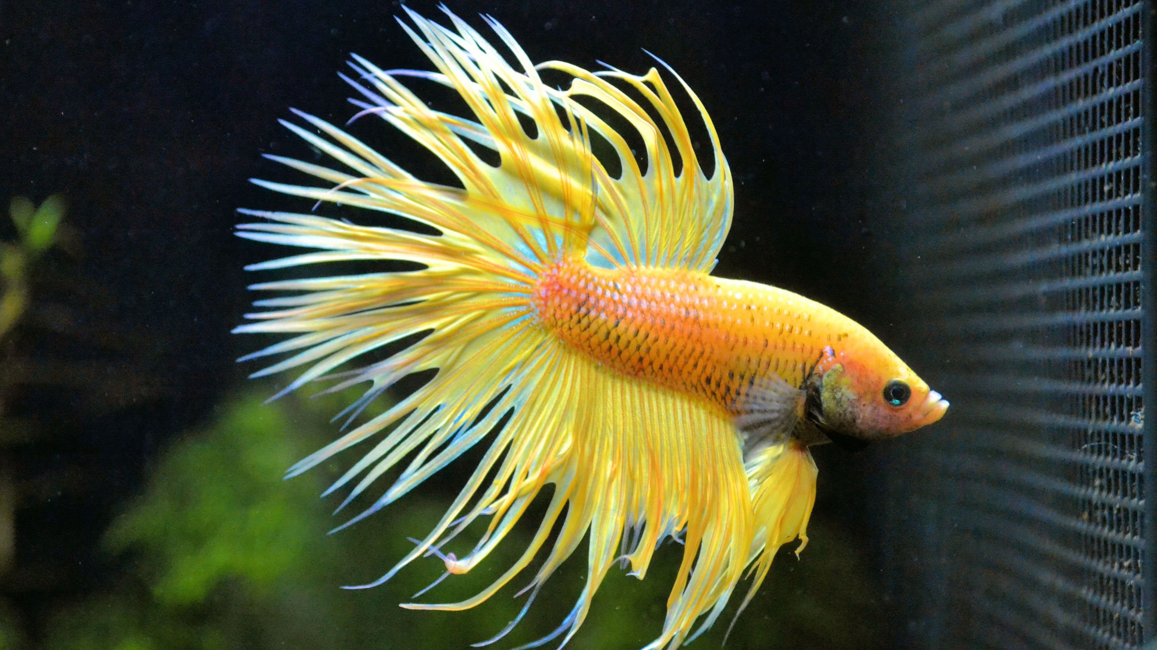 3d Fish Tank Wallpaper Betta Fish Backgrounds Pixelstalk Net