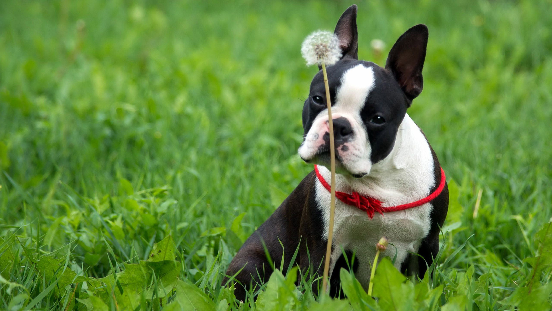 Free Widescreen Fall Wallpaper Boston Terrier Wallpaper Free Download Pixelstalk Net