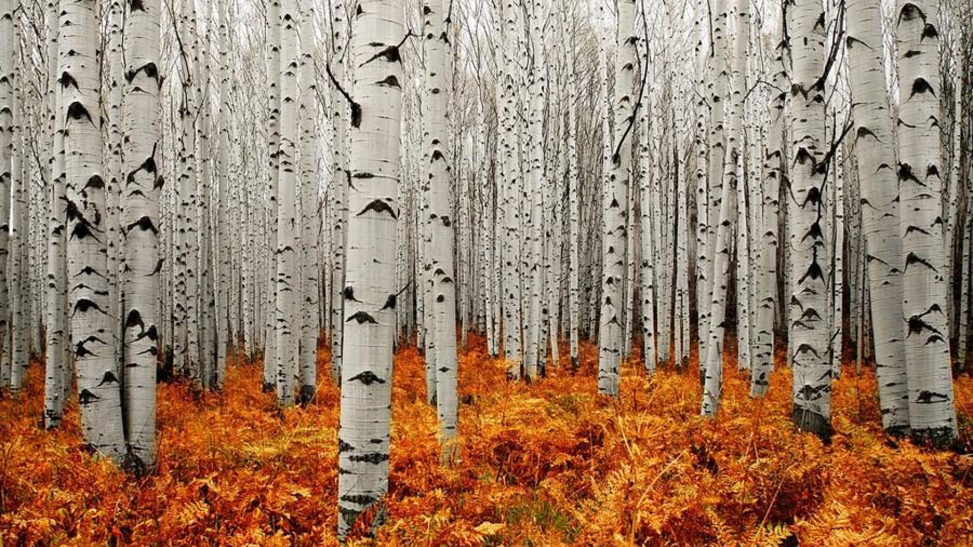 Free Wallpaper Fall Season Aspen Tree Wallpapers Hd Pixelstalk Net