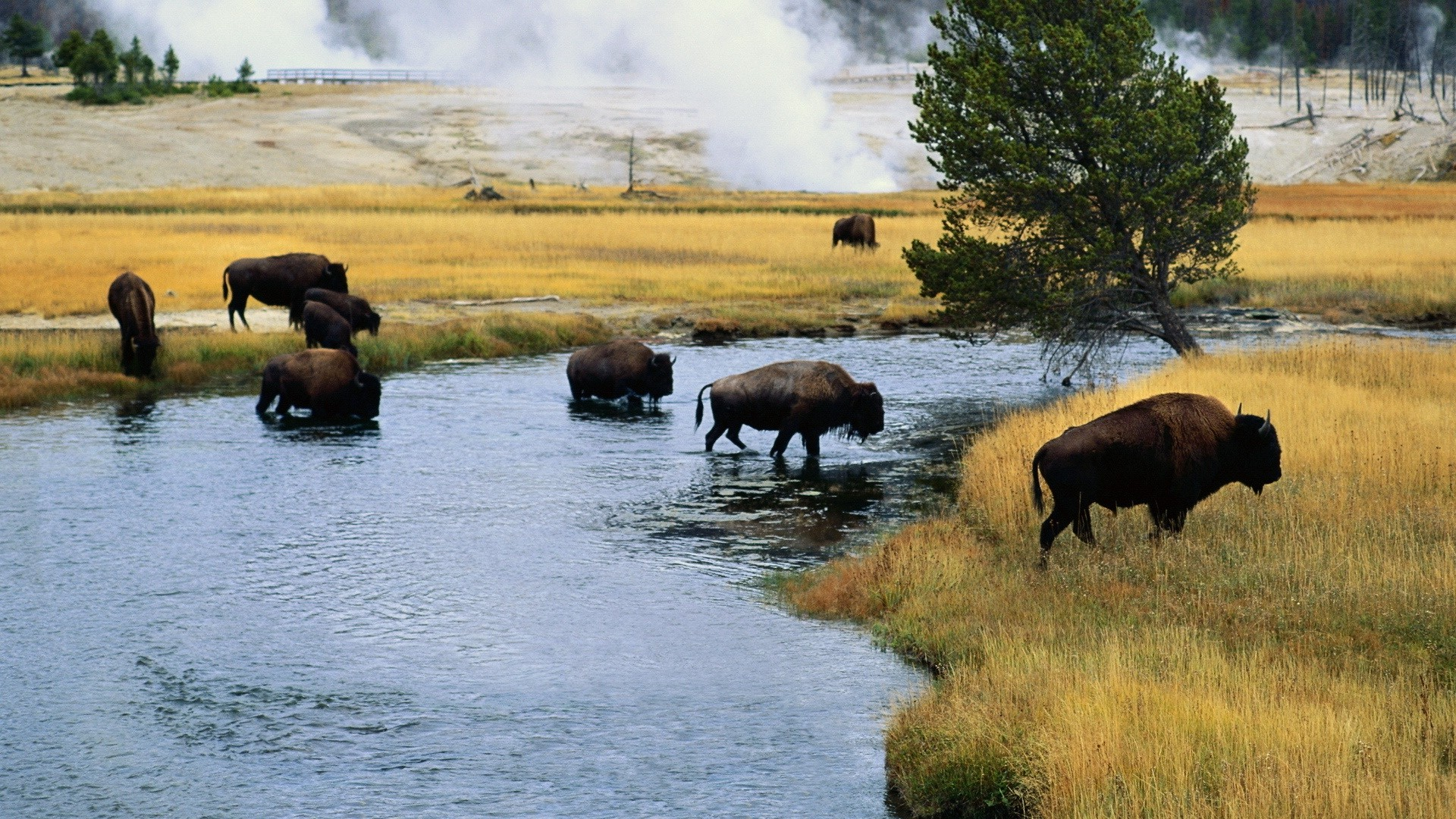Free Full Screen Fall Wallpaper Hd Bison Wallpaper Pixelstalk Net
