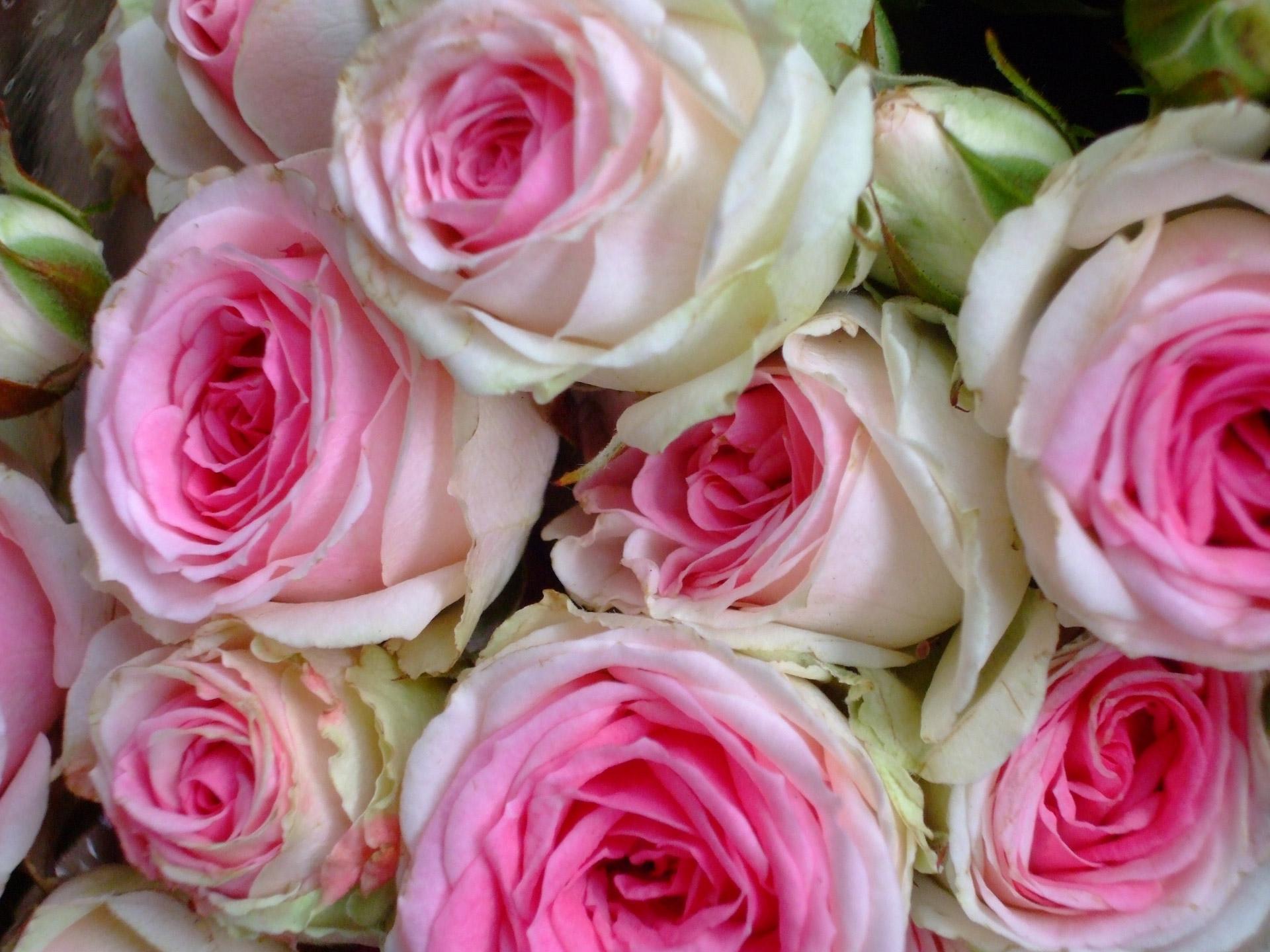 Beautiful Cute Roses Wallpapers Cabbage Rose Wallpaper Hd Pixelstalk Net