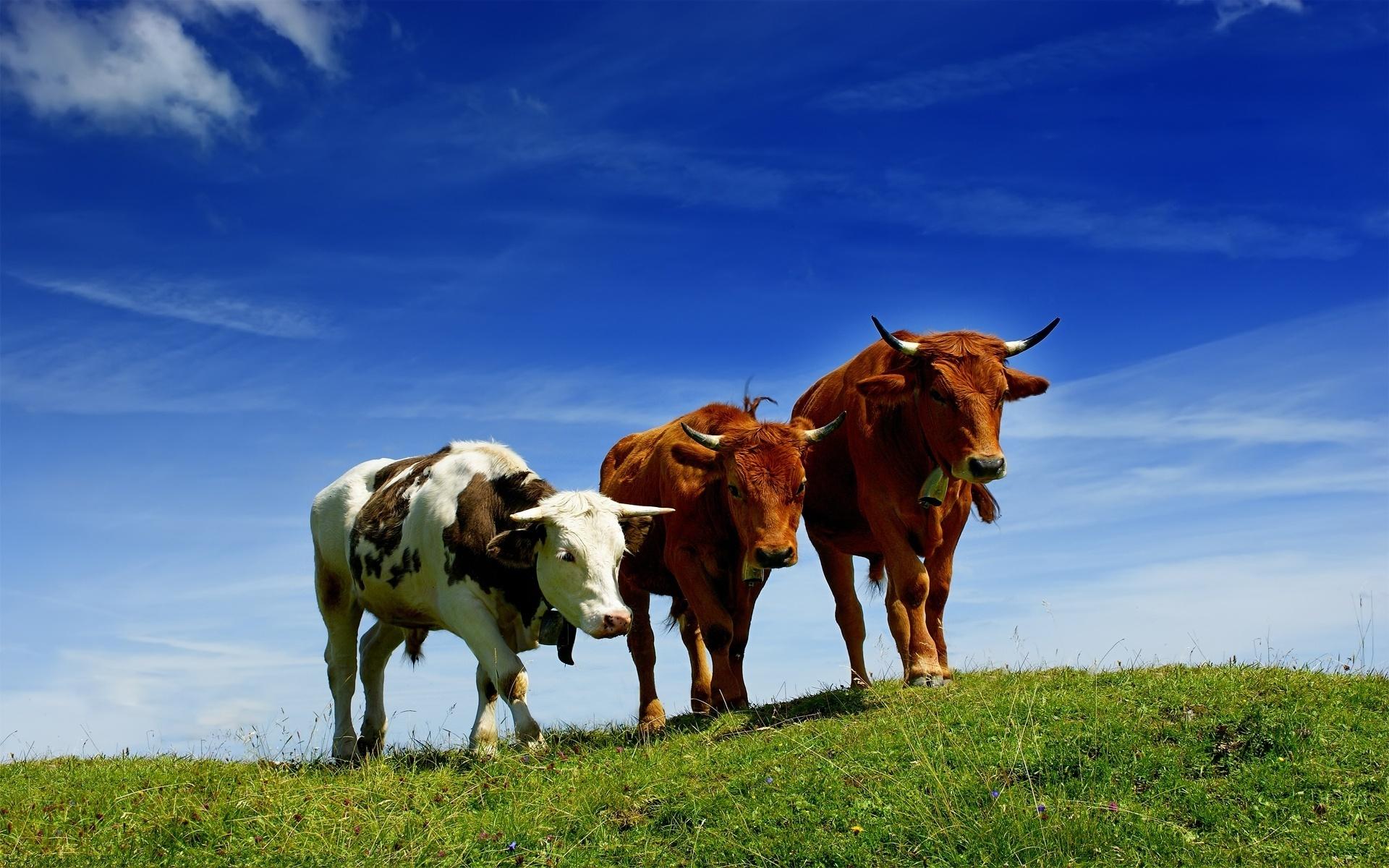Funny Iphone Wallpaper Quotes Cow Wallpaper Hd Pixelstalk Net