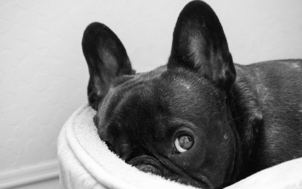 Cute Puppies Wallpaper 1080p French Bulldog Wallpapers Hd Pixelstalk Net