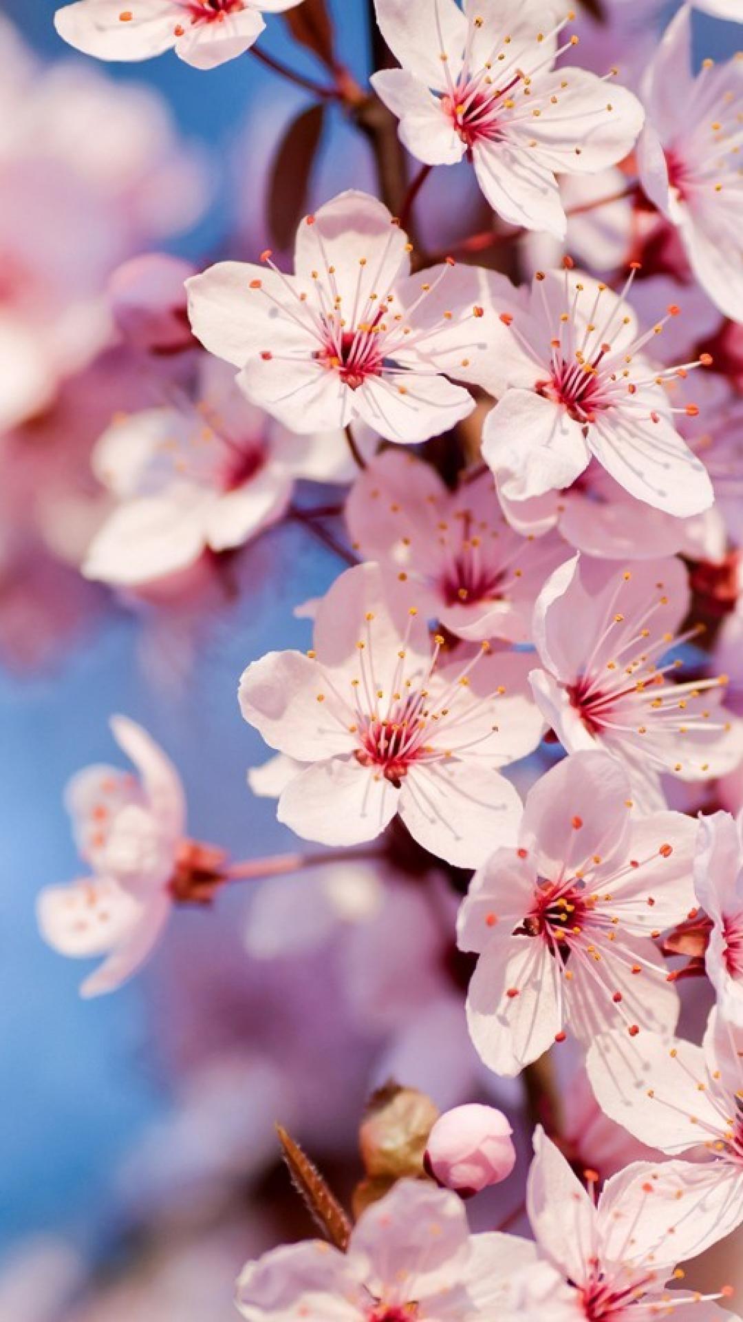 Mobil Hd Wallpaper Cherry Blossom Iphone Hd Wallpaper Pixelstalk Net