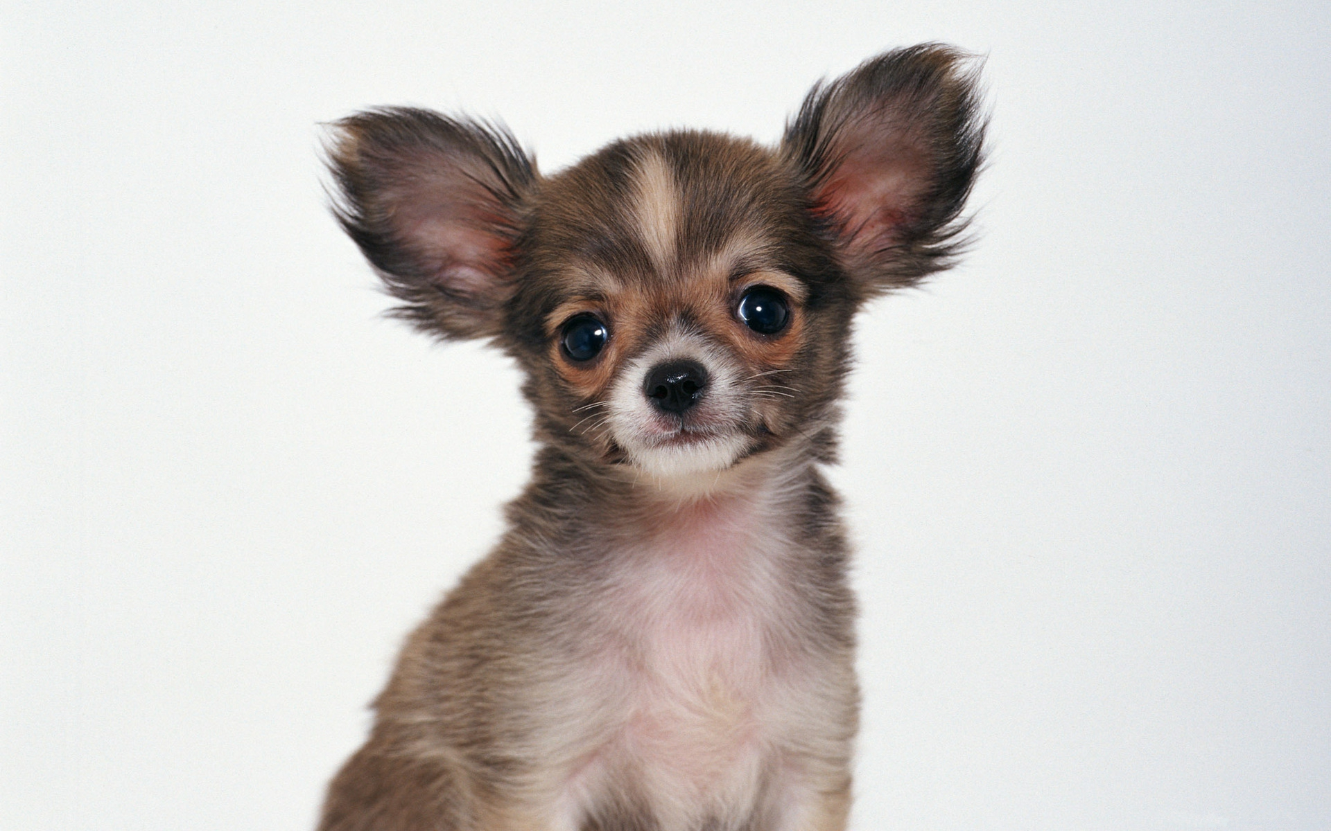 Free Download Cute Baby Wallpaper For Pc Chihuahua Wallpaper Free Download Pixelstalk Net