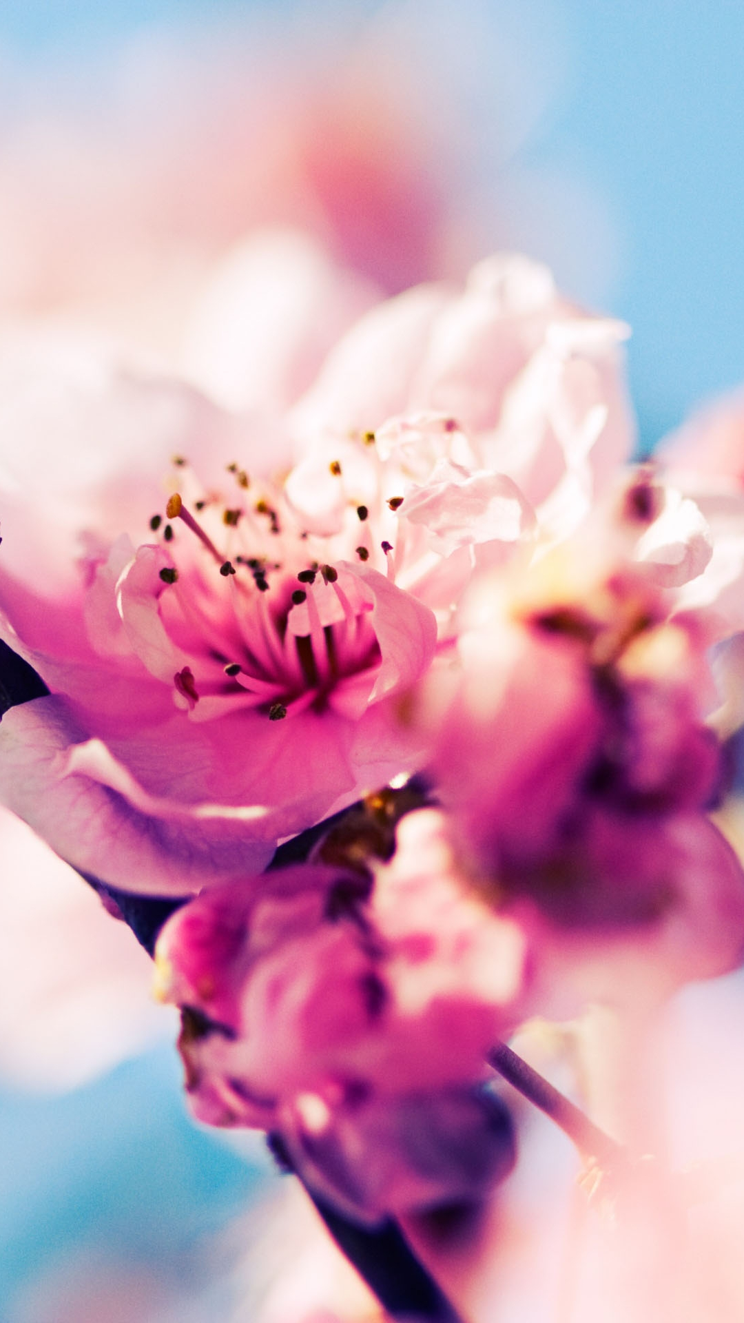 Phone Wallpapers Quotes Hd Cherry Blossom Iphone Hd Wallpaper Pixelstalk Net