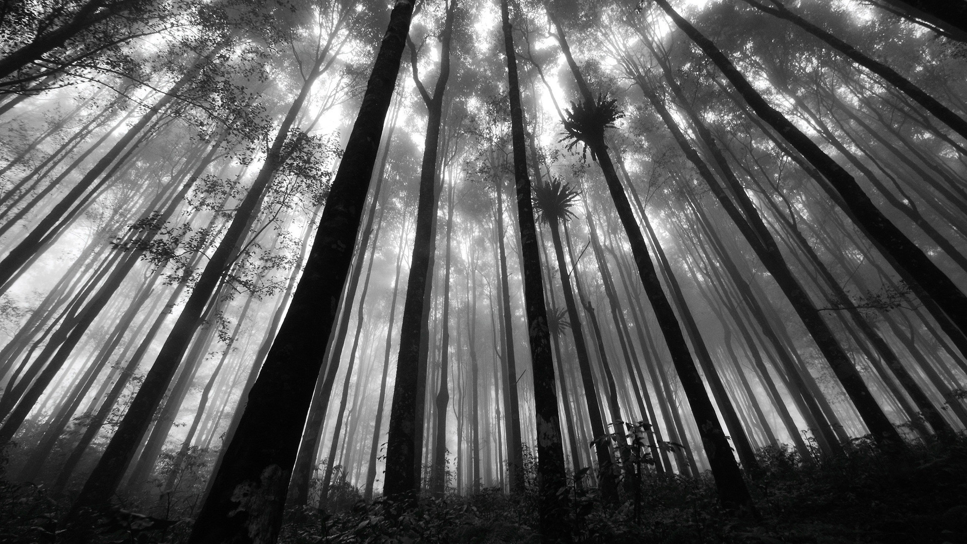 Background Wallpaper Hd Fall Fog Download Free Black And White Forest Wallpaper