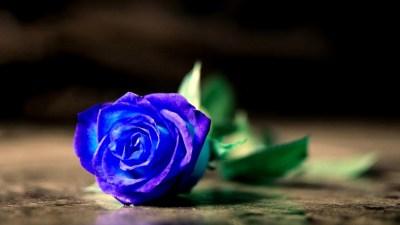 Blue Rose Wallpaper HD | PixelsTalk.Net