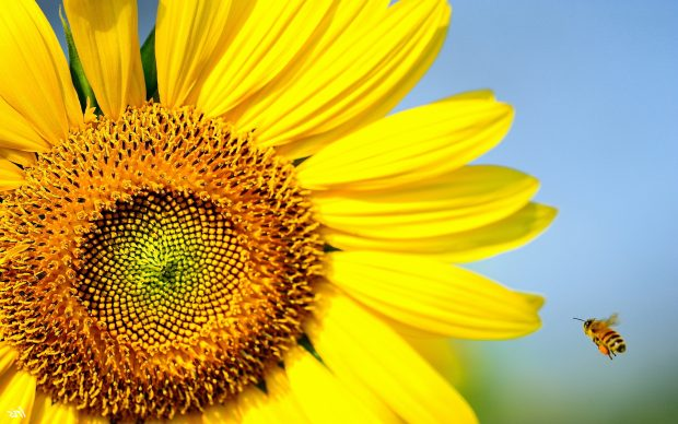 3d Hd Mobile Wallpapers Free Download Sunflower Wallpapers Hd Free Pixelstalk Net