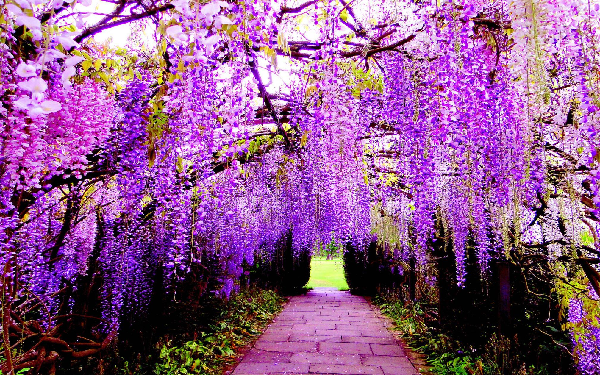 Spring Flowers 3d Live Wallpaper Wisteria Wallpapers Hd Download Pixelstalk Net