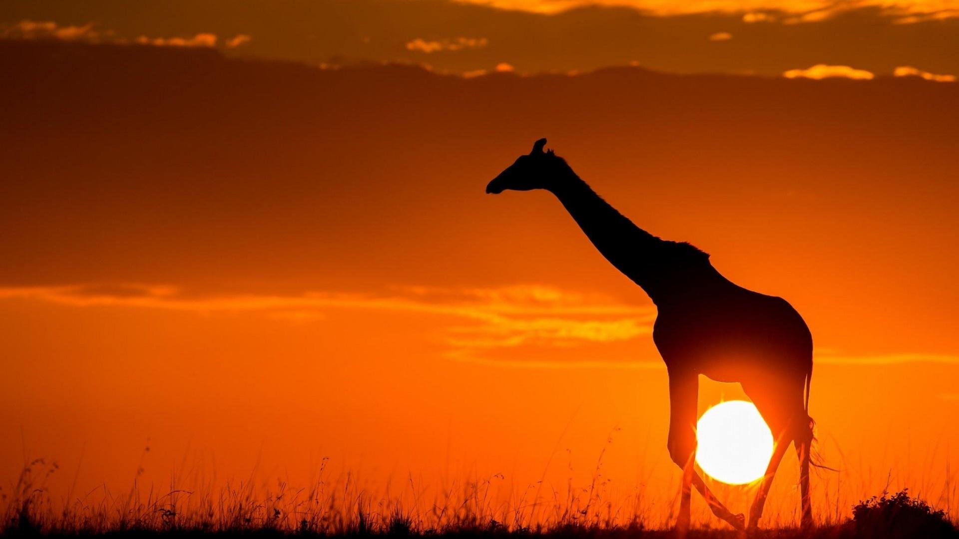 Wallpaper Hd 1080p Free Download African Animals Wallpaper Hd Pixelstalk Net