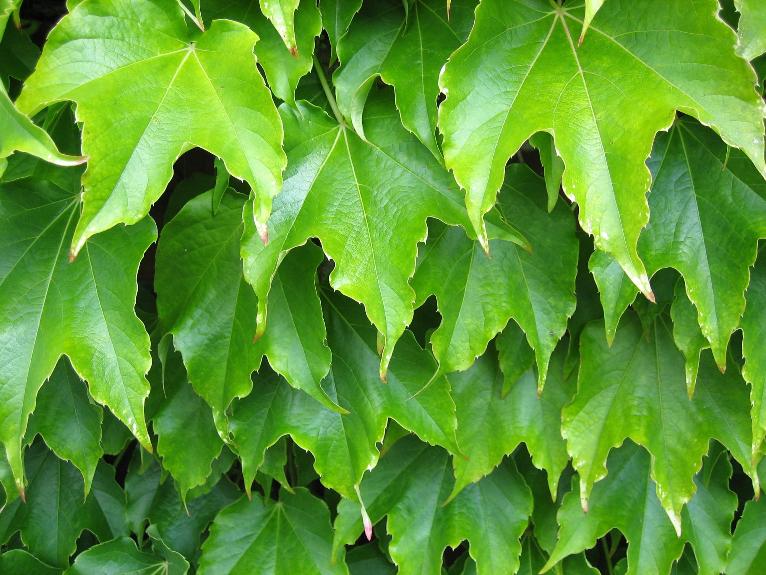 Creeper Wallpaper Hd Free Picture Plant Leaves Green