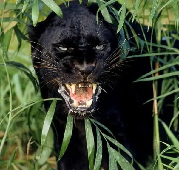 Jaguar Animal Wallpaper 191 Sab 237 As Que La Pantera Negra Es En Realidad Un Jaguar